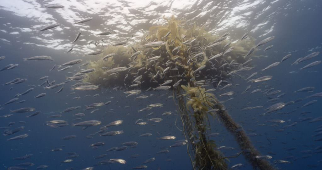 kelp fishing